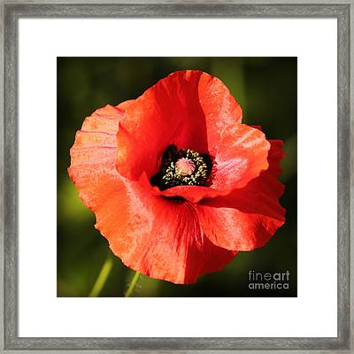 One Red Poppy Framed Print by Carol Groenen