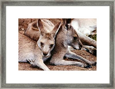One Roo Two Roo Framed Print