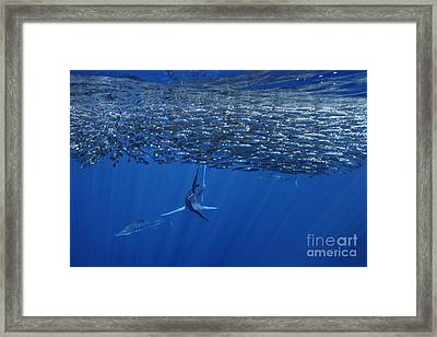One Striped Marlin Feeding On Baitball Of Sardines Beautiful Wall Decor For Office Or Home Framed Print by Brandon Cole