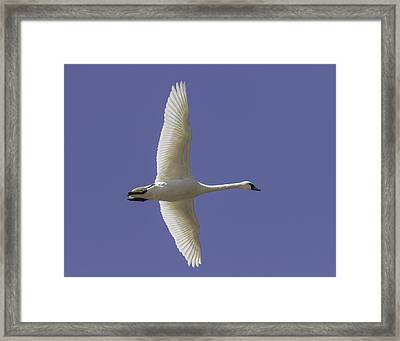 One Swan Framed Print by Thomas Young