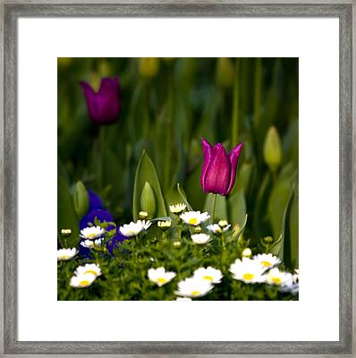 One Tulip Among A Daisy Hill Framed Print by Leyla Ismet