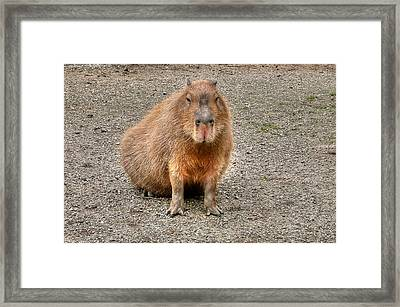 One Very Big Indifferent Rodent-the Capybara Framed Print by Eti Reid