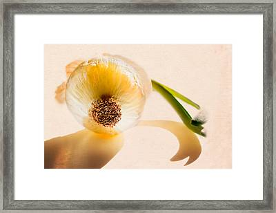 Onion Sunlight Framed Print by Bob Orsillo