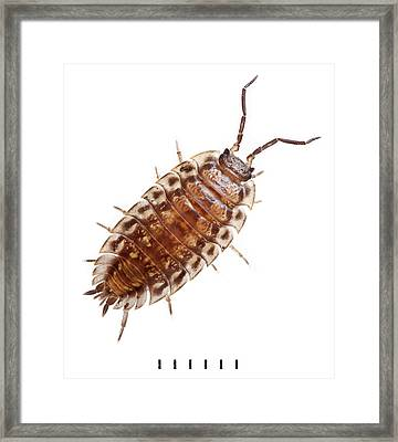 Oniscus Asellus Framed Print by Natural History Museum, London