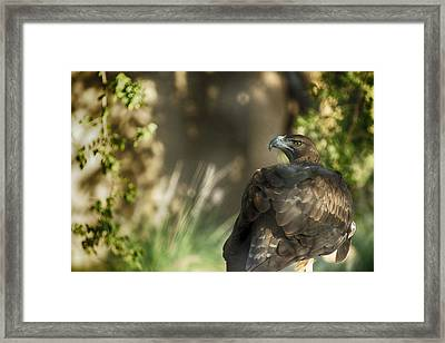 Only An Eagle Can Be As Sharp As An Eagle Framed Print by Munir El Kadi