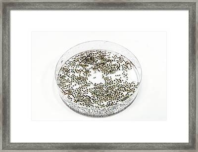 Oocytes Of Xenopus Frog Framed Print by Gustoimages