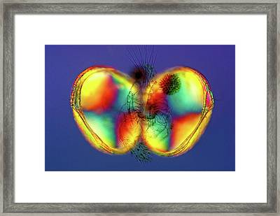 Open Ostracod Shell Framed Print by Marek Mis
