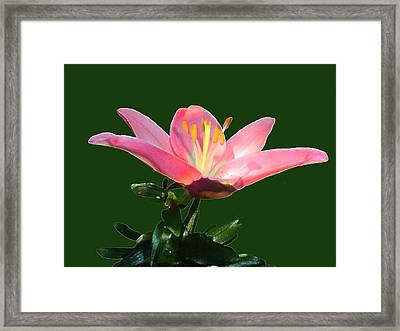 Open Pink Lily Framed Print by Annmarie Clarke