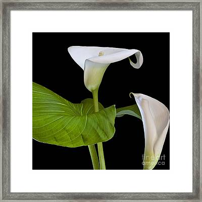 Open White Calla Lily I Framed Print by Heiko Koehrer-Wagner