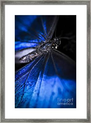 Open Wings Of Blue Morpho Butterfly Framed Print by Elena Elisseeva