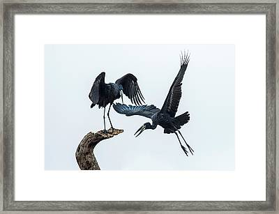 Openbill Storks Flying, Tarangire Framed Print by Panoramic Images