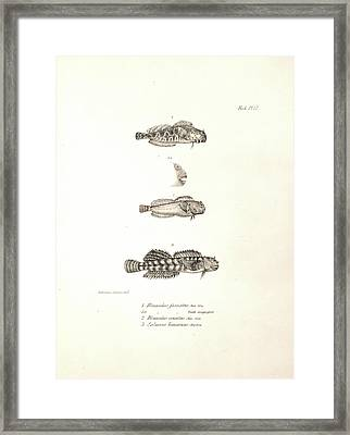 Ophioblennius Atlanticus Framed Print by Natural History Museum, London
