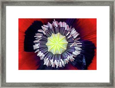 Opium Poppy (papaver Somniferum) Framed Print by Dr Jeremy Burgess