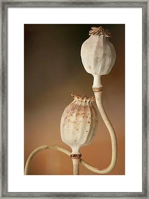Opium Poppy Seedheads Framed Print by Maria Mosolova