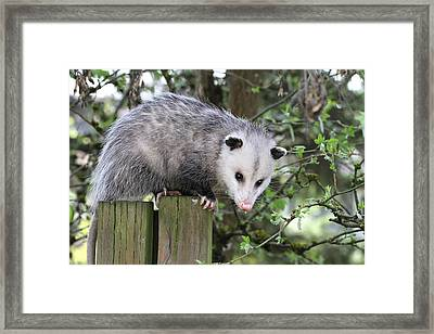 Opossum 2 Framed Print by Angie Vogel