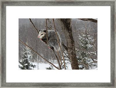 Opossum In A Tree Framed Print