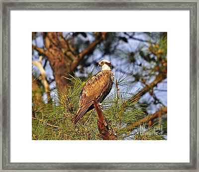 Opulent Osprey Framed Print by Al Powell Photography USA