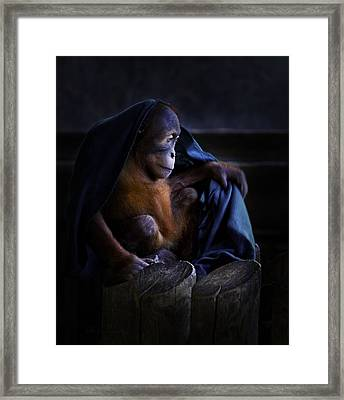 Orang Utan Youngster With Blanket Framed Print