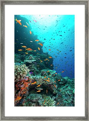 Orange And Purple Anthias On A Reef Framed Print by Louise Murray