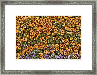 Framed Print featuring the photograph Orange And Purple Daises by Jim Lepard