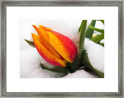 Orange And Red Tulip In The Snow Framed Print by Matthias Hauser