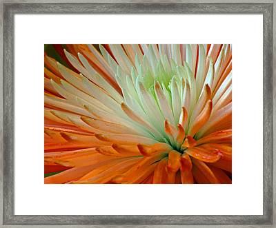 Orange And White Chrysanthemum Framed Print by Richard Singleton