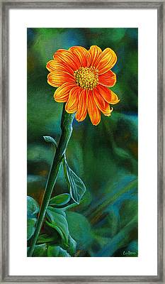 Orange Aster Framed Print by Cara Bevan
