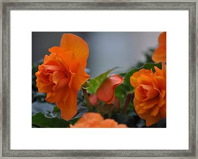 Orange Beauties Framed Print