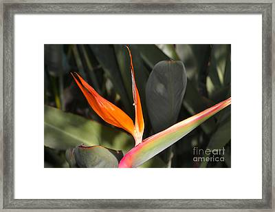 Orange Bird Framed Print by Beverly Guilliams
