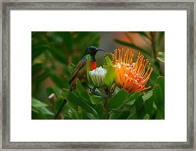 Orange-breasted Sunbird II Framed Print