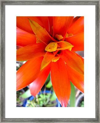 Orange Bromeliad Framed Print