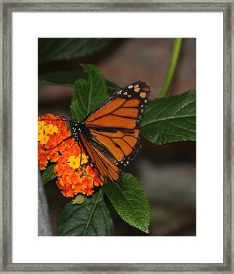 Orange Butterfly On Flowers Framed Print