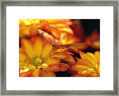 Orange Butterfly On Yellow Mums Framed Print