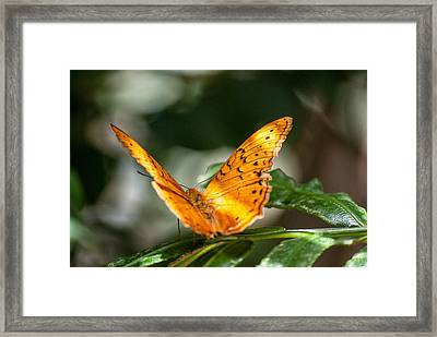 Orange Butterfly Framed Print