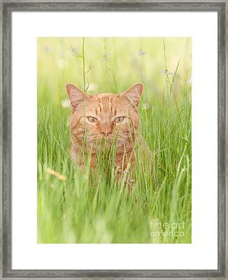 Orange Cat In Green Grass Framed Print