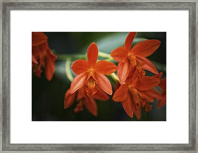 Orange Cattleya Orchid Framed Print