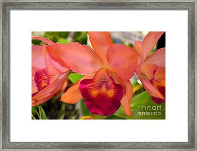 Orange Cattleya Orchid Framed Print by Mary Deal