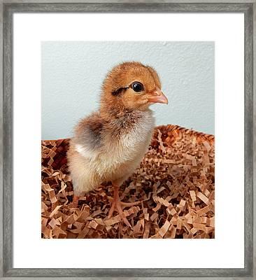 Orange Chick Framed Print