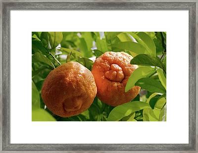 Orange (citrus Sinensis) Tree In Fruit Framed Print by Adrian Thomas