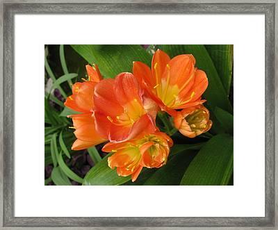 Orange Clivia Framed Print by Alfred Ng