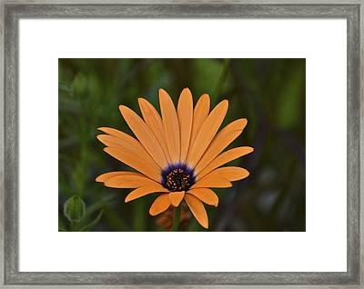 Orange Cream Framed Print by Marjorie Tietjen