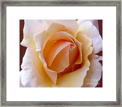 Orange Cream Rose Framed Print