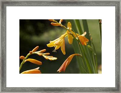 Orange Crocomsia Framed Print by Terry Horstman