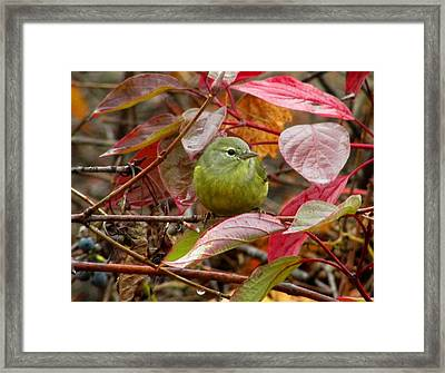 Orange Crowned Warbler Framed Print by Kimberly Mackowski