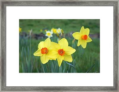 Orange Daffodils Flowers Spring Garden Framed Print by Baslee Troutman
