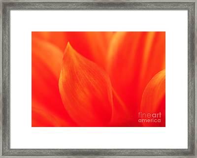 Orange Dahlia Abstract Framed Print by Olivia Hardwicke