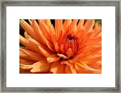 Orange Dahlia Framed Print by Scott Lyons