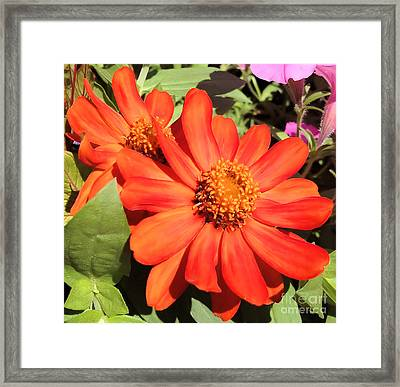 Orange Daisy In Summer Framed Print