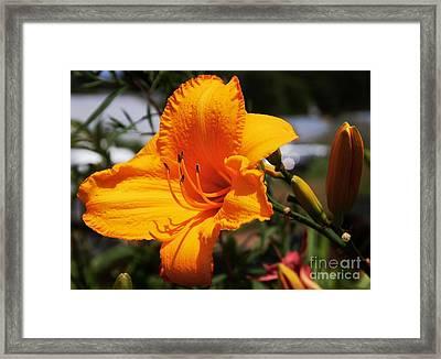 Orange Day Lily 1 Framed Print by Marcus Dagan