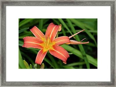 Orange Day Lily Hemerocallis Fulva Framed Print by Nigel Downer